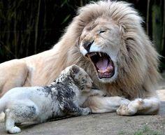 """Jean François Monier """" NON ! Pas de sortie le soir , tu es trop petiiiit ! """" Le roi lion du zoo de La Flèche, en France, ne veut pas être dérangé par son petit âgé de 3 mois."""