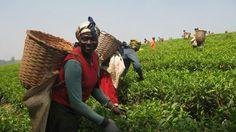 Harvest of tea - Cameroon