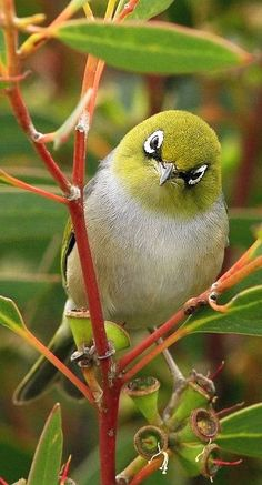 Silvereye - #Birds