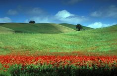 Red poppies during spring in Tuscany