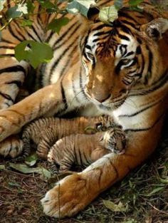 Mother Tiger and her kits. Such tenderness.