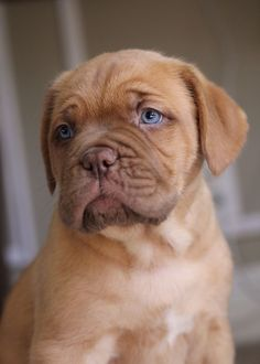 17 Reasons Why Getting A Dogue De Bordeaux Is The Best Thing You Could Ever Do BowWow Times puppy french mastiff cute adorable blue eyes brown fur Mastiff Breeds, Mastiff Puppies, Little Puppies, Cute Puppies, Dogs And Puppies, Giant Dog Breeds, Giant Dogs, Boxer Mix, Dogue De Bordeaux