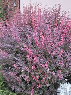 Berberis - Rose Glow Barberry 2 Gallon