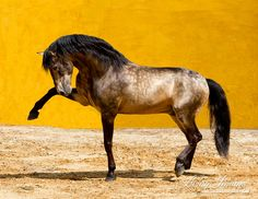 Lusitano Stallion in a bullfight arena in Portugal by Carol Walker  www.LivingImagesCJW.com