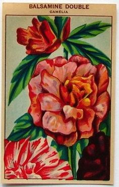French Flower Seed Label, Balsamine Double