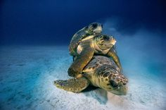 School of deep-sea diving: Breathtaking underwater photos capture exotic marine life in remote parts of the world Under The Water, Under The Sea, Underwater Photos, Underwater World, Ocean Photos, Florida Keys, Florida Usa, Loggerhead Turtle, Turtle Love