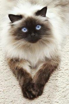 Beautiful Birma Cat