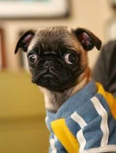 what are you staring at lil guy? #Pug