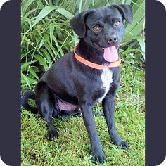 Red Bluff, CA - Pug Mix. Meet BOSTON, a dog for adoption. http://www.adoptapet.com/pet/10954841-red-bluff-california-pug-mix