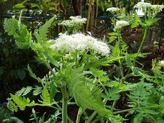 Het blad van Roomse kervel (Myrrhis odorata) kan je op dezelfde manier toepassen als gewone kervel, de smaak is iets voller en nog meer uitgesproken in de stengels en bladstelen. Je kan ze bijvoorbeeld combineren met zure rabarber. Roomse kervel heeft ook een forse penwortel die gestoofd kan worden, een beetje pastinaak met anijs-aroma. Maar als je de wortel gebruikt is je plant natuurlijk weg, dus ik hou het bij het blad, lekker in een slaatje bijvoorbeeld...