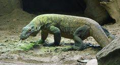 Dragon de Komodo  #dragon #Komodo #Indonesie #azygo