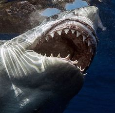 Shark Pictures, Shark Photos, The Great White, Great White Shark, Orcas, Dangerous Fish, Shark In The Ocean, Shark Jaws, Mega Shark