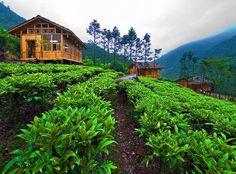 Gunung mas estate, tea-walk + horse back riding! Bogor, Java