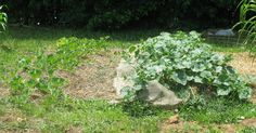 Hugel and traditional bed comparison. Cantaloupe plants from same seed packet. Hugel bed on right was planted two weeks after traditional bed on left. By Marcella: saponaria-wortsandall.blogspot.com