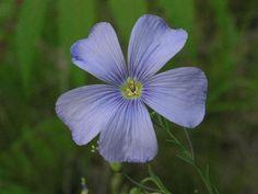 Wild Blue Flax (Linum lewisii)