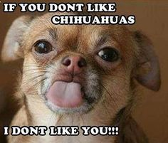 If you don't like Chihuahuas I don't like you!