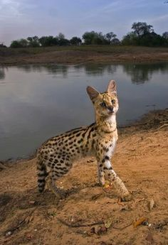 Serval cat trips a remote camera in Zakouma National Park, Chad, in 2006 in this National Geographic photo.
