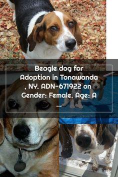 Beagle dog for Adoption in Tonawanda , NY. ADN-671922 on  Gender: Female. Age: Adult Adoptable Beagle, Beagle Dog, Gender Female, Adoption, Age, Animals, Foster Care Adoption, Animales, Animaux