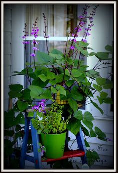 hyacinth bean vine on a ladder, mine is growing across my deck. So pretty!