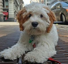 Cavalier King Charles Spaniel / Poodle Mix. by Lotta
