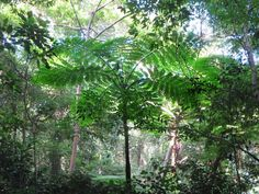 Large tree ferns (Cyathea intermedia) are seen in the vicinity of the Oumagne Caves on the Isle of Pines, New Caledonia, South Pacific. Tree Fern, South Pacific, Caves, Ferns, Plants, Fern, Flora, Cave, Blanket Forts