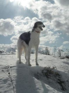 borzoi in the snow     ~~   ☆☆       Russian gift to the world ☆     borzoi  ☆☆     Russian greyhound