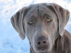 silver labrador retrievers | Silver - Charcoal Gray Labrador Retriever Breeder Puppies For Sale ...