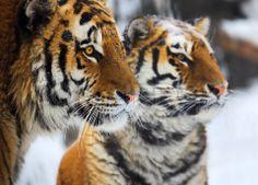 images of tigers & tigresses   Tiger And Tigress