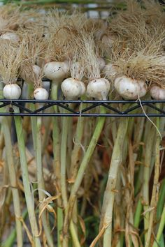 Garlic Drying, probably better than laying them out and takes less space fro my small garden.