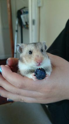 My little Leia the hamster munching on a blueberry