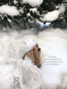 Snow Angel Snow Angels, Therapy Dogs, Girls World, Yorkshire Terrier, Photo Contest, Yorkie, Peaches, Cute, Animals