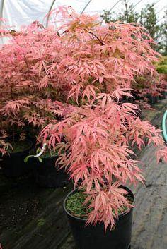 ACER palmatum Geisha