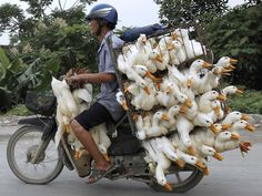 ransporting a lot of ducks on a motorcycle
