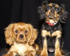Canyoncrest Cavalier King Charles Spaniel Puppies Dallas Fort Worth Texas