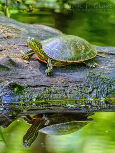 """funkysafari: """" Western Painted Turtle (Chrysemys picta bellii) by John P Clare """" Terrapin, Cute Turtles, Baby Turtles, Sea Turtles, Reptiles And Amphibians, Mammals, Baby Animals, Cute Animals, Red Eared Slider"""