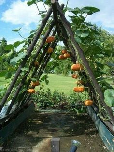 Great idea for growing pumpkins