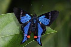 butterflies amazon - Google Search