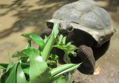 It's snack time for our giant Aldabra tortoises at GVI Seychelles. Volunteer Abroad, Wildlife Conservation, Wildlife Nature, Tortoises, Seychelles, Nom Nom, National Parks, Country, Wilderness