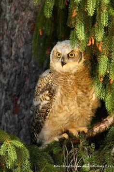 **Eurasian Eagle Owl!