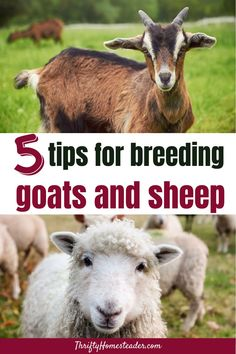 It's fall, which means that it's breeding season for sheep and goat owners. Although it's a totally natural process, there are usually some surprises for new owners experiencing their first breeding season. So, here are five tips for breeding goats and sheep with success. #breedinggoats #breedingsheep Breeding Goats, Raising Goats, Goat Farming, Baby Goats, Sheep, Success, Natural, Fall, Tips