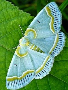 Kind of an odd place for this pin but the colors in this moth are so beautiful and would make a nice color theme. Beautiful aqua moth with gold and white markings Beautiful Creatures, Animals Beautiful, Cute Animals, Beautiful Bugs, Beautiful Butterflies, Beautiful Pictures, Moth Caterpillar, Butterfly Kisses, Butterfly Wings