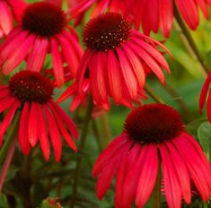 """Big Sky Twilight Echinacea Plant - fragrant, vibrant rosy-red flowers have an unusually deep burgundy-red, button-shaped cone Mature Height: 24-30"""" Mature Spread: 18-24"""" Exposure: Full Sun-Partial Shade Bloom Time: Mid-Summer to Mid-Fall Soil Moisture: Average, Well-Drained, Don't Overwater Soil Type: Widely adaptable, 5.8-7.5 pH Perennial in Zones 4-9"""