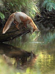 Fox#Watermirror