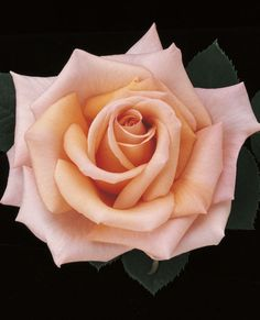 """*Sunset Celebration™ Hybrid Tea Rose Intl Award Winner, Clean, Varied colors. Disease Resistance: Excellent. Color: Warm apricot amber to pink peach. Fragrance: Moderate fruity. Bud: Pointed & ovoid. Flower: Spiraled, formal. Flower Size: Large, 4½-5½"""" diameter. Petals: 25 to 30. Stems: Medium long. Plant Habit: Medium Height of 31"""" to 4'  Width of 2' to 28"""". Upright, bushy Foliage Color: Deep green Hybridizer: Gareth Fryer—1998 Parentage: Pot O'Gold x seedling Cultivar: FRYxotic Patent #…"""