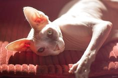 Sunshine. #hairless #sphynx #cat  I think this is the ugliest cat, but its so ugly its cute. If I were to ever get a cat (which i won't) it would be this breed.