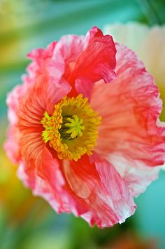 ~~ Potrait of a Poppy by Renee Hubbard Fine Art Photography ~~