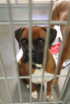 3 YR M BROWN / WHITE BOXER/MIX STRAY Intake Date: 12/28/2014 S5 TEM-ANI At risk for euthanasia at 5 AM, Mon., Jan 5th. MCACC West Valley Animal Care Center (602-506-2765) 2500 S. 27th Avenue Phoenix, AZ 85009 (27th Ave/Lower Buckeye) Hours open: 11AM-6PM Monday-Friday 11AM-5PM Saturday & Sunday **CLICK TO SEE HOW THIS PAGE WORKS**