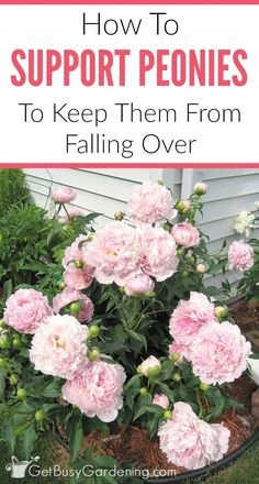 Hydrangea Care Discover Peony Supports & Tips For How To Keep Peonies From Falling Over If peony flowers are left unsupported they will fall over. Learn about peony supports how to keep peonies from drooping and other peony care tips. Growing Peonies, Growing Flowers, Planting Flowers, Flower Gardening, Caring For Peonies, How To Grow Peonies, Balcony Gardening, Potted Flowers, Indoor Gardening