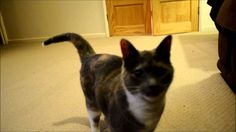 Cat Trotting for Treats Cat Reference, Cats, Animals, Gatos, Animales, Kitty Cats, Animaux, Cat, Animal