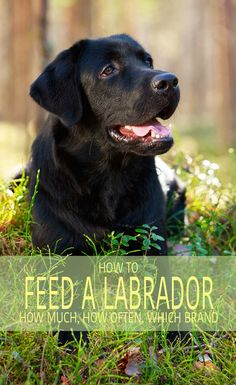 Labrador Food And How To Feed a Labrador - A Complete Guide